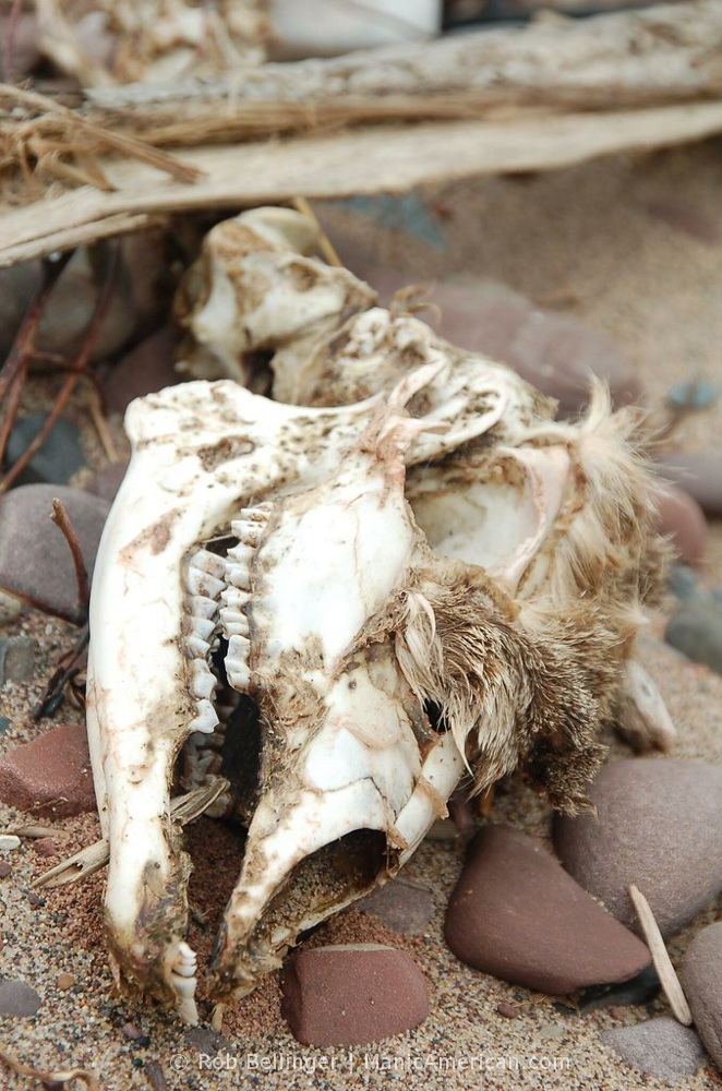A decaying deer skull