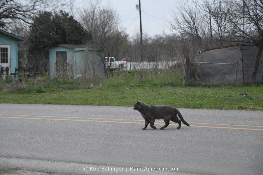 A chubby gray cat hurries across a rural road in late winter