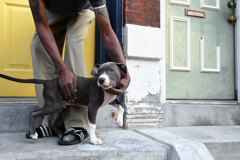 A man's tattooed arms hold back a pit bull puppy